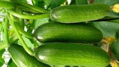 افزایش چشمگیر قیمت خیار در بازار/ خیار در مسیر سرنوشت موز!